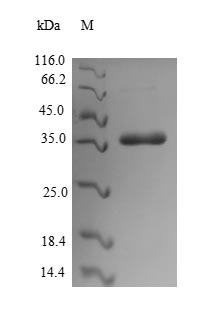 SDS-PAGE separation of QP7239 followed by commassie total protein stain results in a primary band consistent with reported data for CS6 fimbrial subunit B. These data demonstrate Greater than 92.2% as determined by SDS-PAGE.
