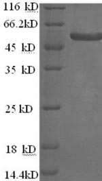 SDS-PAGE separation of QP7286 followed by commassie total protein stain results in a primary band consistent with reported data for Alpha-galactosidase 1. These data demonstrate Greater than 90% as determined by SDS-PAGE.