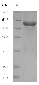 SDS-PAGE separation of QP7297 followed by commassie total protein stain results in a primary band consistent with reported data for Serine--tRNA ligase