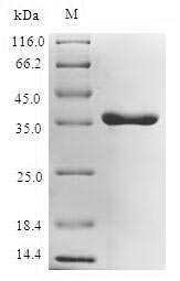 SDS-PAGE separation of QP7317 followed by commassie total protein stain results in a primary band consistent with reported data for UDP-3-O-acyl-N-acetylglucosamine deacetylase. These data demonstrate Greater than 80% as determined by SDS-PAGE.