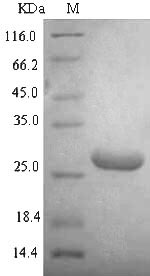 SDS-PAGE separation of QP7329 followed by commassie total protein stain results in a primary band consistent with reported data for DNA-binding protein HU-alpha. These data demonstrate Greater than 94.2% as determined by SDS-PAGE.