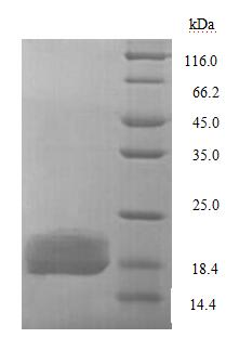 SDS-PAGE separation of QP7331 followed by commassie total protein stain results in a primary band consistent with reported data for LptA. These data demonstrate Greater than 90% as determined by SDS-PAGE.