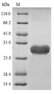 SDS-PAGE separation of QP7344 followed by commassie total protein stain results in a primary band consistent with reported data for Enterotoxin type B. These data demonstrate Greater than 80% as determined by SDS-PAGE.
