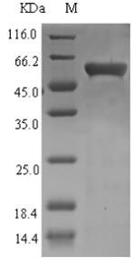 SDS-PAGE separation of QP7355 followed by commassie total protein stain results in a primary band consistent with reported data for Recombination and repair protein. These data demonstrate Greater than 86.2% as determined by SDS-PAGE.