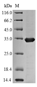 SDS-PAGE separation of QP7382 followed by commassie total protein stain results in a primary band consistent with reported data for Ag85C. These data demonstrate Greater than 90% as determined by SDS-PAGE.