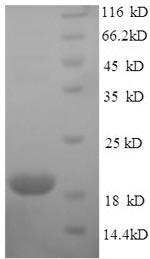 SDS-PAGE separation of QP7388 followed by commassie total protein stain results in a primary band consistent with reported data for Nickel-responsive regulator. These data demonstrate Greater than 90% as determined by SDS-PAGE.