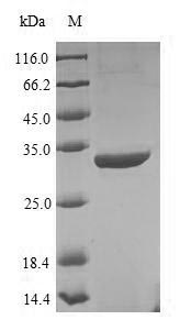 SDS-PAGE separation of QP7417 followed by commassie total protein stain results in a primary band consistent with reported data for Recombination protein uvsY. These data demonstrate Greater than 86.7% as determined by SDS-PAGE.