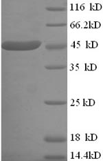 SDS-PAGE separation of QP7434 followed by commassie total protein stain results in a primary band consistent with reported data for L-lactate dehydrogenase. These data demonstrate Greater than 90% as determined by SDS-PAGE.