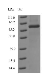 SDS-PAGE separation of QP7500 followed by commassie total protein stain results in a primary band consistent with reported data for Influenza A H3N2 (strain A / Kitakyushu / 159 / 1993) Nucleoprotein. These data demonstrate Greater than 90% as determined by SDS-PAGE.
