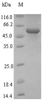 SDS-PAGE separation of QP7521 followed by commassie total protein stain results in a primary band consistent with reported data for Influenza A H1N1 (strain A / Hickox / 1940) Hemagglutinin. These data demonstrate Greater than 90% as determined by SDS-PAGE.