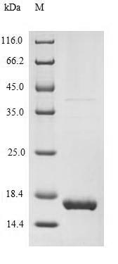 SDS-PAGE separation of QP7586 followed by commassie total protein stain results in a primary band consistent with reported data for MART-1 / MLANA. These data demonstrate Greater than 90% as determined by SDS-PAGE.