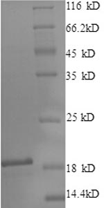 SDS-PAGE separation of QP7627 followed by commassie total protein stain results in a primary band consistent with reported data for Lingual antimicrobial peptide. These data demonstrate Greater than 90% as determined by SDS-PAGE.