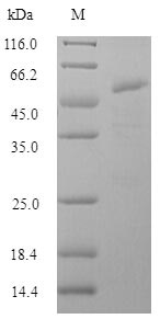 SDS-PAGE separation of QP7702 followed by commassie total protein stain results in a primary band consistent with reported data for Influenza A H2N2 (strain A / Mallard / New York / 6750 / 1978) Hemagglutinin. These data demonstrate Greater than 90% as determined by SDS-PAGE.