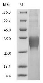 SDS-PAGE separation of QP7991 followed by commassie total protein stain results in a primary band consistent with reported data for C-type lectin domain family 4 member C. These data demonstrate Greater than 80% as determined by SDS-PAGE.