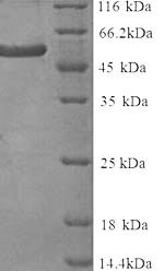 SDS-PAGE separation of QP8179 followed by commassie total protein stain results in a primary band consistent with reported data for Delta-like protein 3. These data demonstrate Greater than 90% as determined by SDS-PAGE.