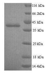 SDS-PAGE separation of QP8291 followed by commassie total protein stain results in a primary band consistent with reported data for Talin-2. These data demonstrate Greater than 90% as determined by SDS-PAGE.