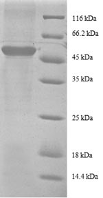 SDS-PAGE separation of QP8331 followed by commassie total protein stain results in a primary band consistent with reported data for 40S ribosomal protein S9. These data demonstrate Greater than 90% as determined by SDS-PAGE.