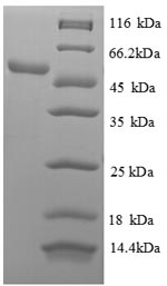 SDS-PAGE separation of QP8388 followed by commassie total protein stain results in a primary band consistent with reported data for 60S ribosomal protein L18. These data demonstrate Greater than 90% as determined by SDS-PAGE.