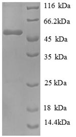SDS-PAGE separation of QP8394 followed by commassie total protein stain results in a primary band consistent with reported data for Extended synaptotagmin-1. These data demonstrate Greater than 90% as determined by SDS-PAGE.