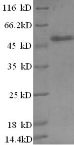 SDS-PAGE separation of QP8421 followed by commassie total protein stain results in a primary band consistent with reported data for Zinc finger BED domain-containing protein 1. These data demonstrate Greater than 90% as determined by SDS-PAGE.