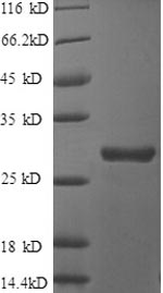 SDS-PAGE separation of QP8529 followed by commassie total protein stain results in a primary band consistent with reported data for Clusterin. These data demonstrate Greater than 90% as determined by SDS-PAGE.