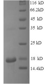 SDS-PAGE separation of QP8555 followed by commassie total protein stain results in a primary band consistent with reported data for IL-15. These data demonstrate Greater than 90% as determined by SDS-PAGE.