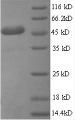 SDS-PAGE separation of QP8558 followed by commassie total protein stain results in a primary band consistent with reported data for IL6 / Interleukin-6 Protein. These data demonstrate Greater than 90% as determined by SDS-PAGE.