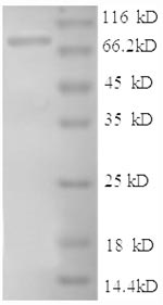 SDS-PAGE separation of QP8565 followed by commassie total protein stain results in a primary band consistent with reported data for CD54 / ICAM-1. These data demonstrate Greater than 90% as determined by SDS-PAGE.