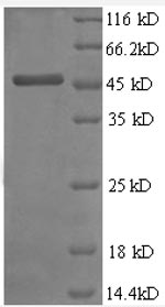 SDS-PAGE separation of QP8571 followed by commassie total protein stain results in a primary band consistent with reported data for TIMP2 / TIMP-2. These data demonstrate Greater than 90% as determined by SDS-PAGE.