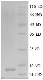 SDS-PAGE separation of QP8574 followed by commassie total protein stain results in a primary band consistent with reported data for CD171 / N-CAML1 / L1CAM. These data demonstrate Greater than 90% as determined by SDS-PAGE.