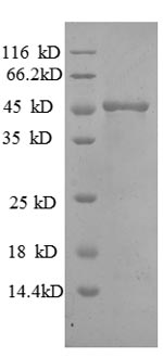 SDS-PAGE separation of QP8575 followed by commassie total protein stain results in a primary band consistent with reported data for MMP7. These data demonstrate Greater than 90% as determined by SDS-PAGE.