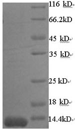 SDS-PAGE separation of QP8581 followed by commassie total protein stain results in a primary band consistent with reported data for Beta-lactamase. These data demonstrate Greater than 90% as determined by SDS-PAGE.
