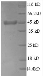 SDS-PAGE separation of QP8583 followed by commassie total protein stain results in a primary band consistent with reported data for Thrombopoietin / THPO. These data demonstrate Greater than 90% as determined by SDS-PAGE.