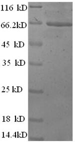 SDS-PAGE separation of QP8585 followed by commassie total protein stain results in a primary band consistent with reported data for Actin