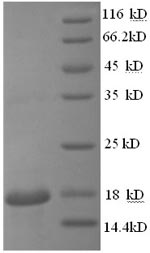 SDS-PAGE separation of QP8588 followed by commassie total protein stain results in a primary band consistent with reported data for Cyclophilin A / PPIA / CYPA. These data demonstrate Greater than 90% as determined by SDS-PAGE.