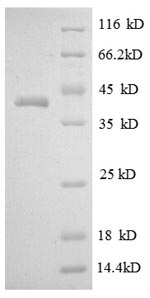 SDS-PAGE separation of QP8589 followed by commassie total protein stain results in a primary band consistent with reported data for Myelin protein P0. These data demonstrate Greater than 90% as determined by SDS-PAGE.