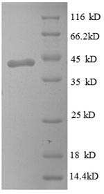 SDS-PAGE separation of QP8590 followed by commassie total protein stain results in a primary band consistent with reported data for PMP2 / FABP8. These data demonstrate Greater than 90% as determined by SDS-PAGE.
