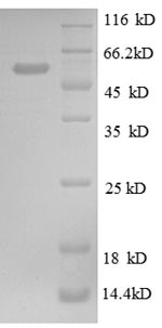 SDS-PAGE separation of QP8591 followed by commassie total protein stain results in a primary band consistent with reported data for CALR / Calreticulin. These data demonstrate Greater than 85.1% as determined by SDS-PAGE.