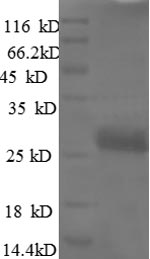 SDS-PAGE separation of QP8597 followed by commassie total protein stain results in a primary band consistent with reported data for VEGF / VEGFA / VEGF165. These data demonstrate Greater than 90% as determined by SDS-PAGE.