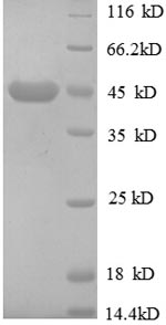 SDS-PAGE separation of QP8603 followed by commassie total protein stain results in a primary band consistent with reported data for MPRI. These data demonstrate Greater than 90% as determined by SDS-PAGE.