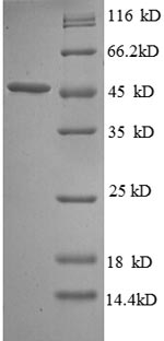SDS-PAGE separation of QP8608 followed by commassie total protein stain results in a primary band consistent with reported data for Probable diguanylate cyclase YedQ. These data demonstrate Greater than 90% as determined by SDS-PAGE.