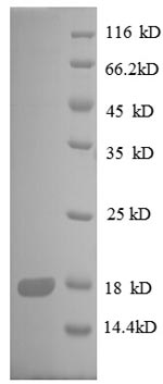 SDS-PAGE separation of QP8610 followed by commassie total protein stain results in a primary band consistent with reported data for 30S ribosomal protein S8. These data demonstrate Greater than 90% as determined by SDS-PAGE.
