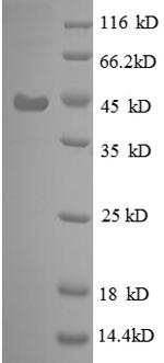 SDS-PAGE separation of QP8612 followed by commassie total protein stain results in a primary band consistent with reported data for 30S ribosomal protein S6. These data demonstrate Greater than 90% as determined by SDS-PAGE.