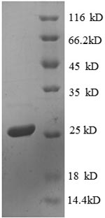 SDS-PAGE separation of QP8613 followed by commassie total protein stain results in a primary band consistent with reported data for 30S ribosomal protein S4. These data demonstrate Greater than 90% as determined by SDS-PAGE.