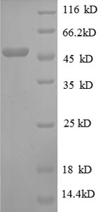 SDS-PAGE separation of QP8614 followed by commassie total protein stain results in a primary band consistent with reported data for 30S ribosomal protein S3. These data demonstrate Greater than 90% as determined by SDS-PAGE.