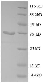 SDS-PAGE separation of QP8616 followed by commassie total protein stain results in a primary band consistent with reported data for 30S ribosomal protein S21. These data demonstrate Greater than 90% as determined by SDS-PAGE.