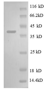 SDS-PAGE separation of QP8620 followed by commassie total protein stain results in a primary band consistent with reported data for 30S ribosomal protein S13. These data demonstrate Greater than 90% as determined by SDS-PAGE.