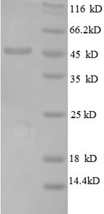 SDS-PAGE separation of QP8624 followed by commassie total protein stain results in a primary band consistent with reported data for 50S ribosomal protein L6. These data demonstrate Greater than 90% as determined by SDS-PAGE.