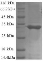 SDS-PAGE separation of QP8627 followed by commassie total protein stain results in a primary band consistent with reported data for 50S ribosomal protein L34. These data demonstrate Greater than 90% as determined by SDS-PAGE.