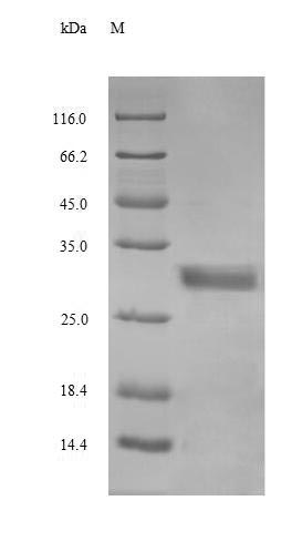 SDS-PAGE separation of QP8639 followed by commassie total protein stain results in a primary band consistent with reported data for Glucagon. These data demonstrate Greater than 90% as determined by SDS-PAGE.